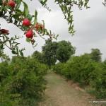 Pomegranate Orchards in Govindnagar